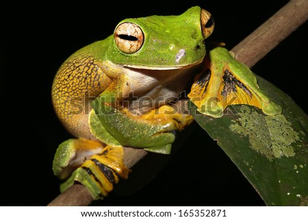 Wallace's or Abah River Flying Frog (Rhacophorus nigropalmatus) perches & watches in rain forests of Malaysian Borneo. Large webbed feet allow it to glide long distances through air. Pregnant female. - stock photo