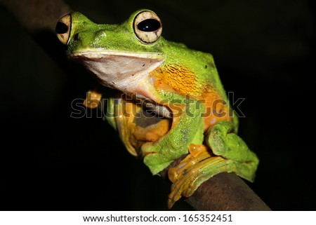 Wallace's or Abah River Flying Frog (Rhacophorus nigropalmatus) perches & watches in the rain forests of Malaysian Borneo. Large webbed feet allow frog to glide long distances through the air. Male. - stock photo