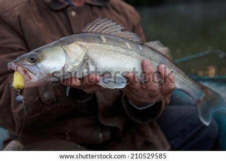 Walleye caught on handmade jig lure in fisherman's hands - stock photo