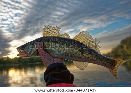 Walleye in fisherman's hand, HDR style photo - stock photo