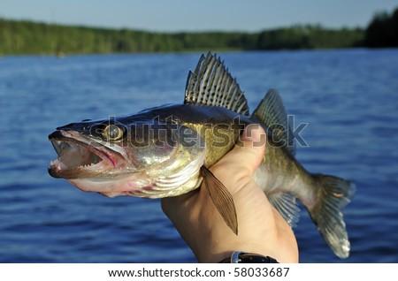 Walleye in hand - stock photo