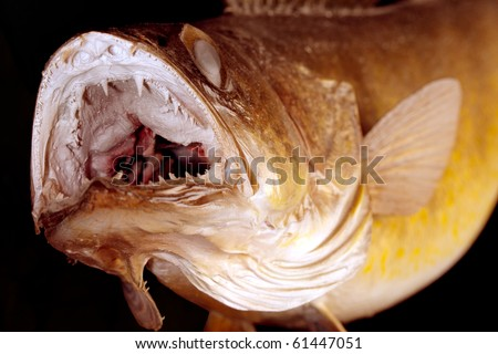Walleye Pike game fish ready to strike.  The fish's mouth is open showing multiple rows of teeth. - stock photo