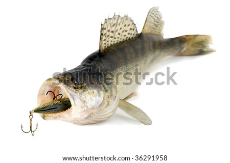 walleye ,pike-perch fish predator isolated on white background - stock photo