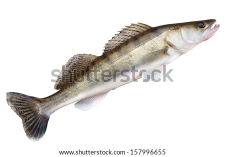 Walleye (pike-perch) isolated on white with clipping path
