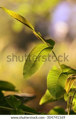 Walnut  leaves against morning sun - stock photo