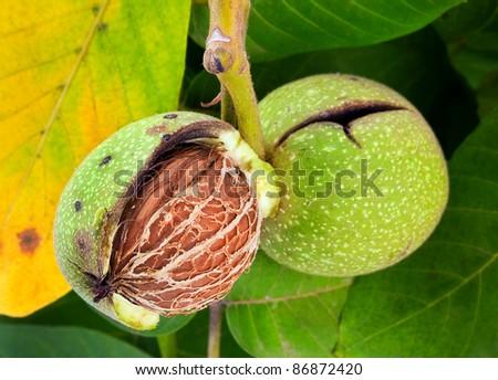 Walnut nut closeup on tree with leaf - stock photo