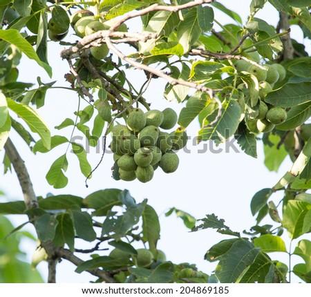 walnut on a tree branch - stock photo