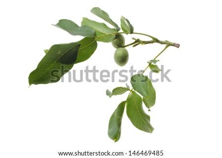 walnut twig with fruits isolated on white background - stock photo