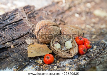 Walnuts and a red mountain ash berries are an old tree bark