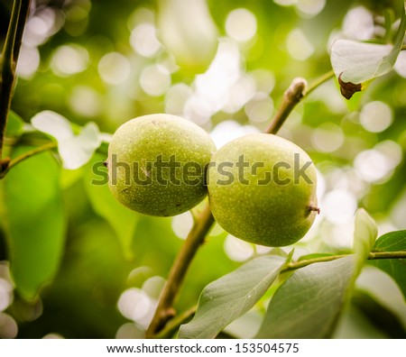 Walnuts on a branch - stock photo
