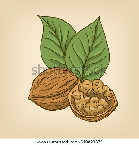 Walnuts with leaves and kernel walnut. illustration. Hand drawn illustration.