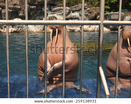Walrus behind the barns in the zoo          - stock photo