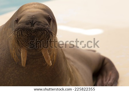 Walrus, close-up - stock photo