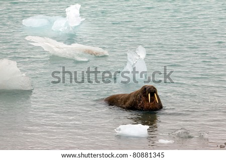 Walrus emerging from the sea in Spitsbergen - stock photo