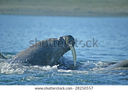 walrus in a nature - stock photo