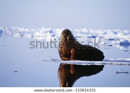 Walrus lying on beach - stock photo