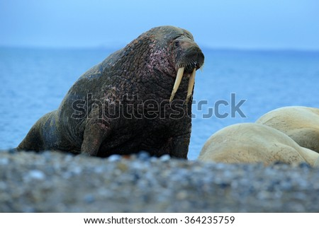 Walrus, Odobenus rosmarus, big animal stick out from blue water on pebble beach, in nature habitat, Svalbard, Norway - stock photo