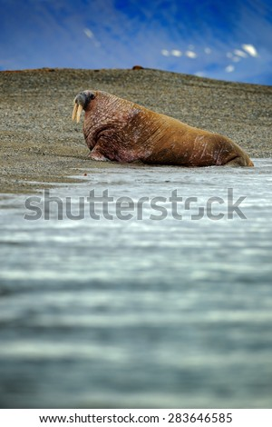Walrus, Odobenus rosmarus, stick out from blue sea water on pebble beach, mountains in background, Svalbard, Norway - stock photo