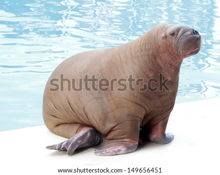 walrus on water background - stock photo