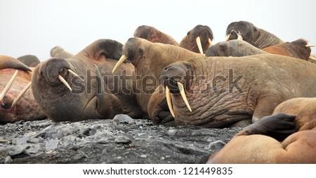Walrus rookery - stock photo