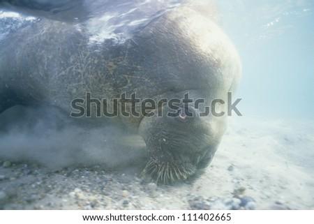 Walrus searching the sea floor - stock photo