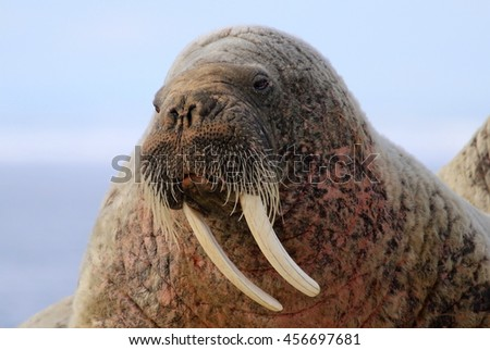 Walrus showing its tusks on ice floe in Canada