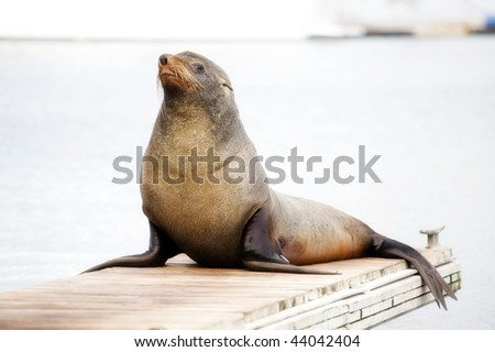 Walrus sits on the bridge, looking into the camera and smiles. - stock photo