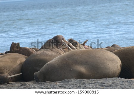 Walruses in the Arctic - stock photo