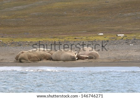 Walruses relaxing on the shore - stock photo