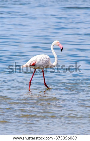 Walvish Bay, Namibia. Pink Flamingo