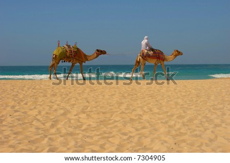 Wandering bedouin on camels goes through a beach