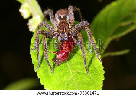 Wandering spider (family Ctenidae) eating a beetle in the rainforest understory at night - stock photo