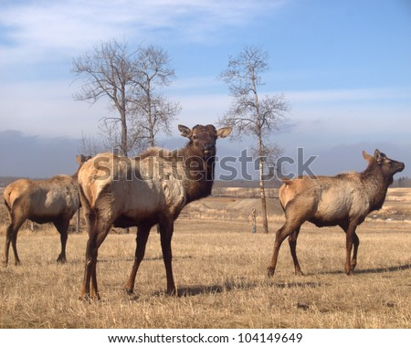 Wapiti Elk after shedding their antlers in the spring.  All 3 of these animals had theirs harvested / shorn on an Albertan elk farm - stock photo
