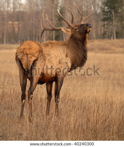Wapiti elk attempting to catch a scent on a domestic elk farm in Alberta, Canada - stock photo