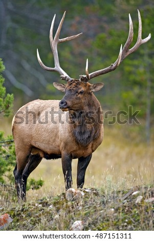 Wapiti Elk Bull standing in forest clearing,Rocky Mountains, Canada