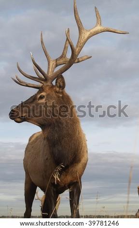 Wapiti Elk ((Cervus elaphus))  against an Alberta autumn sky - stock photo