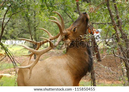 Wapiti Elk ((Cervus elaphus)) against in the Grand Canyon - Arizona usa - stock photo