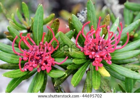Waratah flower at Mt Wellington, Hobart, Tasmania - stock photo
