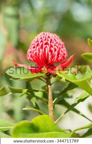 Waratah flower is the state floral emblem of New South Wales - Telopea speciosissima - stock photo