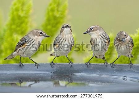 Warbler Quartet - stock photo