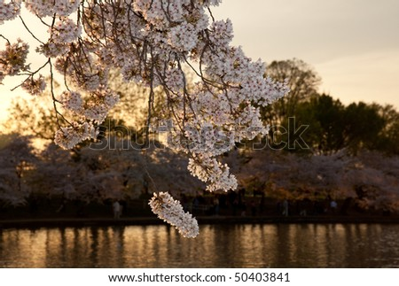 Warm colors of cherry blossom flowers against the setting sun in Washington DC - stock photo