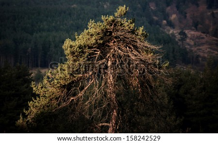Warm light on a pine tree in the mountains, Bulgaria