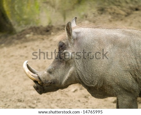Wart-hog. - stock photo