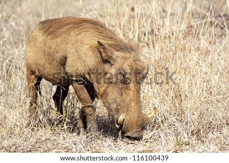 Wart Hog male, Kruger Park, South Africa - stock photo