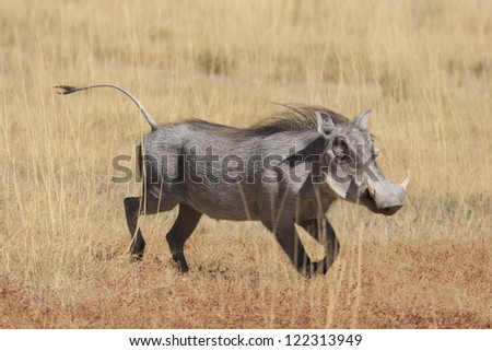 warthog, - stock photo