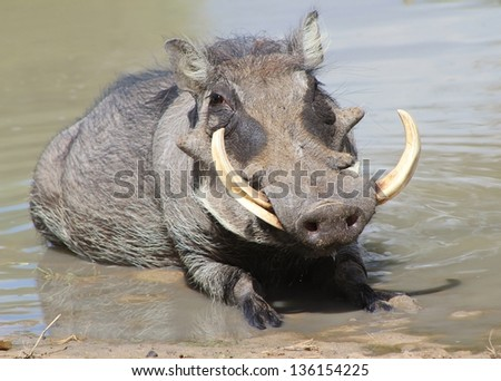 Warthog - African Wildlife - A Portrait of a Pig Snout, Ivory Tusks and Grey Warts.  That is all a good warthog needs. - stock photo