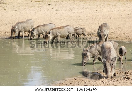 Warthog - African Wildlife - Two separate families share a watering hole on a game ranch in Namibia.  Social interaction is rare, but families are very close knit. - stock photo