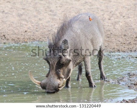 Warthog - African Wildlife - When you are thirsty, even the muddiest of water will do just fine. - stock photo