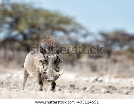Warthog at a waterhole in Onguma, Namibia