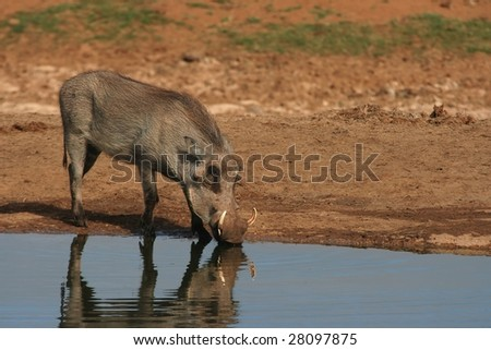 Warthog drinking at waterhole with reflection